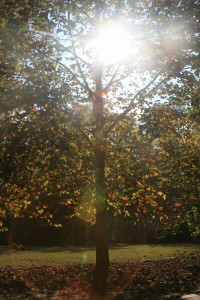 Sunlight through the Sycamores