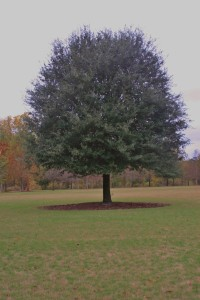The Live Oak Tree on the Meadow