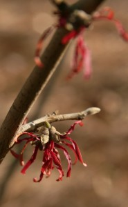carmine red witch hazel