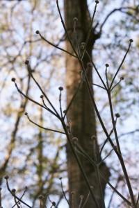 dogwood buds