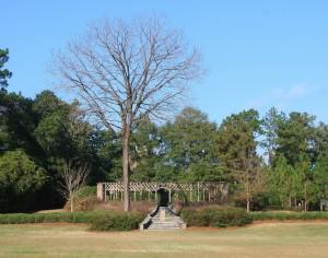 Black Walnut Tree in front of Pergola