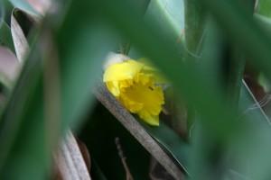 daffodil ant