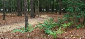 ferns in the woodland garden